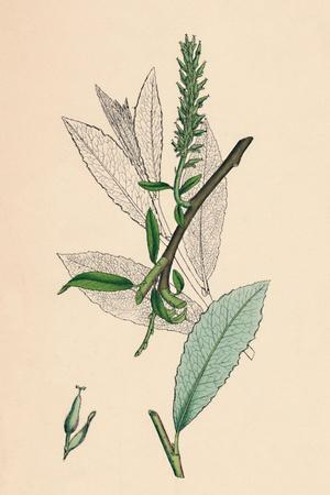 'Salix phylicifolia, var. radicans. Tea-leaved Sallow, var. a.', 19th Century-Unknown-Framed Giclee Print