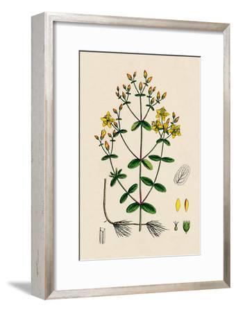 'Hypericum Boeticum. Waved-leaved St. John's Wort', 19th Century-Unknown-Framed Giclee Print