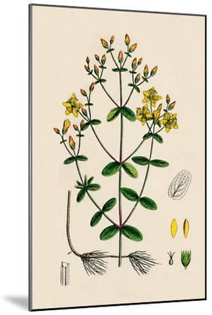'Hypericum Boeticum. Waved-leaved St. John's Wort', 19th Century-Unknown-Mounted Giclee Print