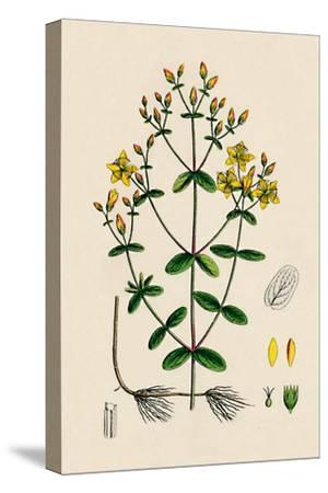 'Hypericum Boeticum. Waved-leaved St. John's Wort', 19th Century-Unknown-Stretched Canvas Print