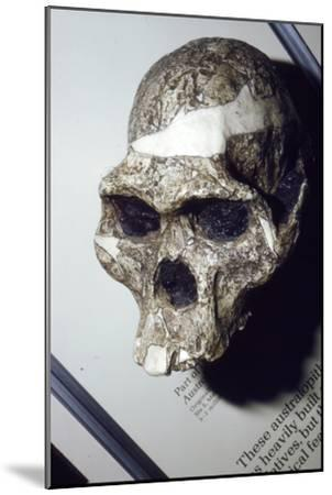 Skull of Australopithecus Africanus from Sterkfontein, South Africa, 3 to 2 million years BC-Unknown-Mounted Giclee Print