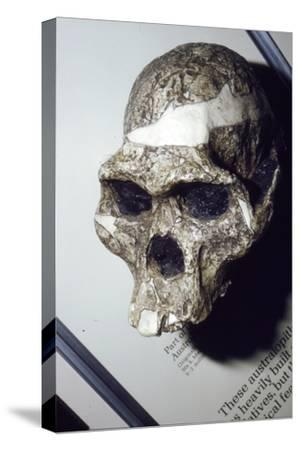 Skull of Australopithecus Africanus from Sterkfontein, South Africa, 3 to 2 million years BC-Unknown-Stretched Canvas Print