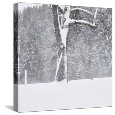 Tree, branches, snow-covered-Martin Ley-Stretched Canvas Print
