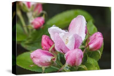 Apple blossom, Malus domesticus, close-up-Waldemar Langolf-Stretched Canvas Print