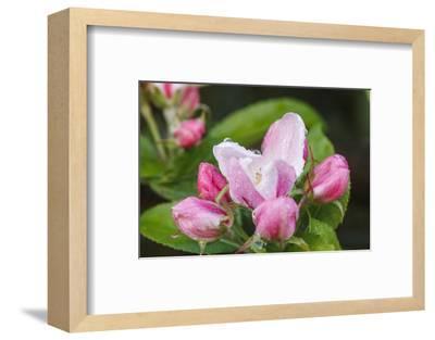 Apple blossom, Malus domesticus, close-up-Waldemar Langolf-Framed Photographic Print
