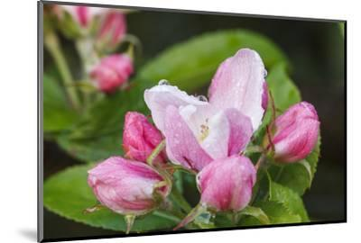 Apple blossom, Malus domesticus, close-up-Waldemar Langolf-Mounted Photographic Print