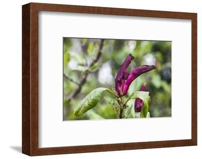 Pink Magnolia 'Susan'-Waldemar Langolf-Framed Photographic Print