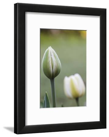 Tulips, herald of spring-Waldemar Langolf-Framed Photographic Print