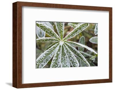 frost-covered Lupinus leaves-Waldemar Langolf-Framed Photographic Print
