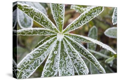 frost-covered Lupinus leaves-Waldemar Langolf-Stretched Canvas Print