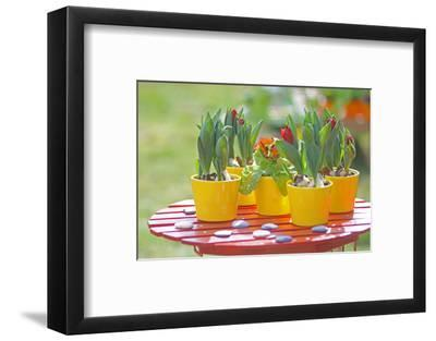 Flowerpots with tulips, red tulip buds of the parrot tulip, Tulipa, close-up-Sandra Gutekunst-Framed Photographic Print