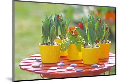 Flowerpots with tulips, red tulip buds of the parrot tulip, Tulipa, close-up-Sandra Gutekunst-Mounted Photographic Print