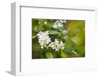 bird cherry, Prunus padus, twig, blossoms-Waldemar Langolf-Framed Photographic Print
