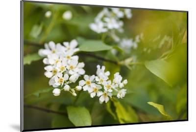 bird cherry, Prunus padus, twig, blossoms-Waldemar Langolf-Mounted Photographic Print