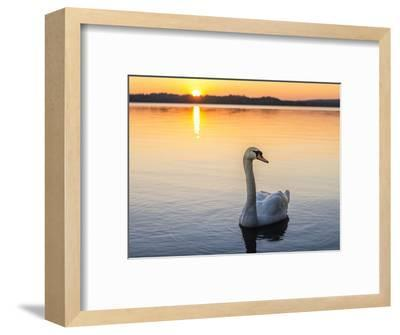 Mute swan in front of setting sun-enricocacciafotografie-Framed Photographic Print