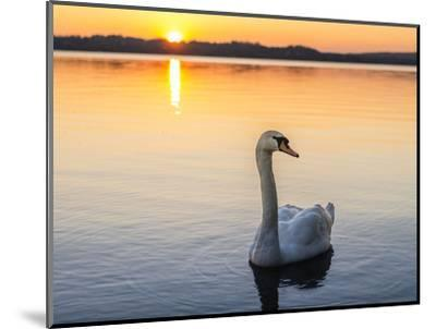 Mute swan in front of setting sun-enricocacciafotografie-Mounted Photographic Print