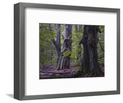 Old beeches, Urwald Sababurg, Reinhardswald, Hessen-Michael Jaeschke-Framed Photographic Print