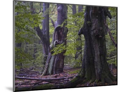 Old beeches, Urwald Sababurg, Reinhardswald, Hessen-Michael Jaeschke-Mounted Photographic Print