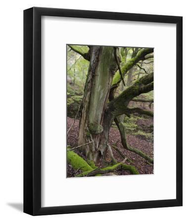 old beech, Kellerwald-Edersee National Park, Paradies, Kellerwald, Hessia, Germany-Michael Jaeschke-Framed Photographic Print