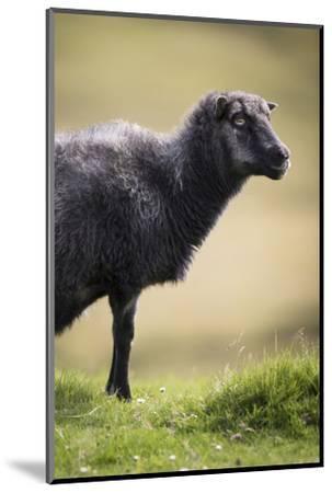 Sheep, Faeroese,-olbor-Mounted Photographic Print