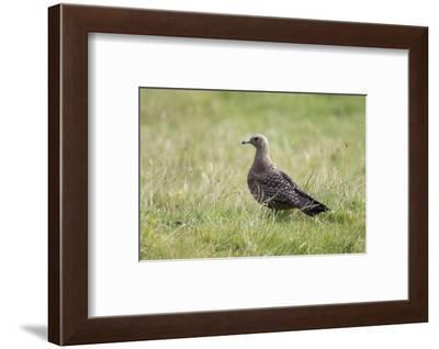Arctic skua, Stercorarius parasiticus, juvenil plumage-olbor-Framed Photographic Print