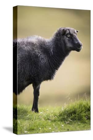 Sheep, Faeroese,-olbor-Stretched Canvas Print