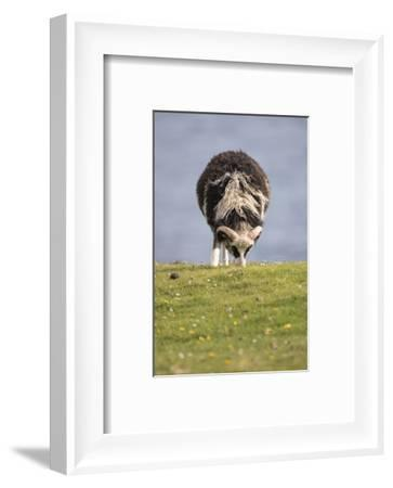 Sheep, Faeroese,-olbor-Framed Photographic Print