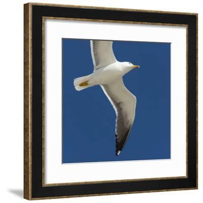 Germany, the North Sea, herring gull (Larus argentatus) in the flight.-Roland T. Frank-Framed Photographic Print