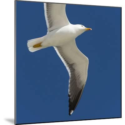 Germany, the North Sea, herring gull (Larus argentatus) in the flight.-Roland T. Frank-Mounted Photographic Print