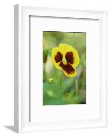 garden pansies, viola wittrockiana, blossom, close-up-David & Micha Sheldon-Framed Photographic Print