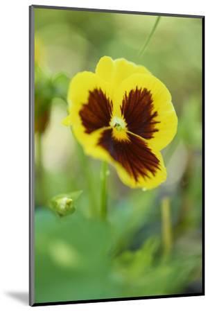 garden pansies, viola wittrockiana, blossom, close-up-David & Micha Sheldon-Mounted Photographic Print