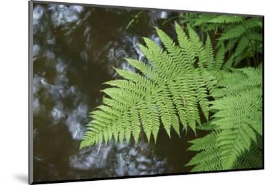 male fern, Dryopteris filix-mas, brookside, spring-David & Micha Sheldon-Mounted Photographic Print