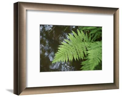 male fern, Dryopteris filix-mas, brookside, spring-David & Micha Sheldon-Framed Photographic Print