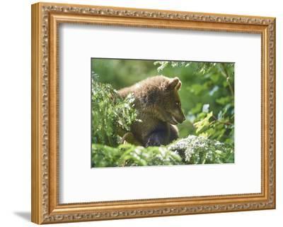 European brown bear, Ursus arctos arctos, young animal, wilderness, sidewise-David & Micha Sheldon-Framed Photographic Print