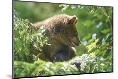 European brown bear, Ursus arctos arctos, young animal, wilderness, sidewise-David & Micha Sheldon-Mounted Photographic Print