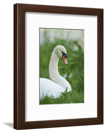 mute swan, Cygnus olor, portrait-David & Micha Sheldon-Framed Photographic Print