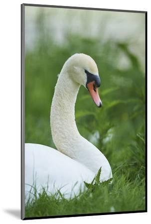 mute swan, Cygnus olor, portrait-David & Micha Sheldon-Mounted Photographic Print