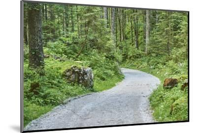 Scenery, forest way, spruce forest, Picea abies, spring-David & Micha Sheldon-Mounted Photographic Print