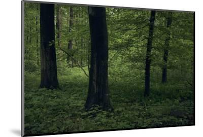 Forest in spring, dark, old trees-Axel Killian-Mounted Photographic Print