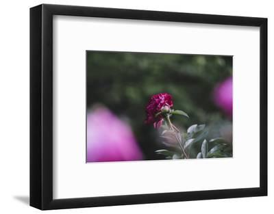 Blossoming peonies in the garden in June,-Nadja Jacke-Framed Photographic Print