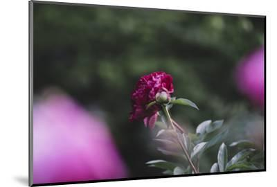Blossoming peonies in the garden in June,-Nadja Jacke-Mounted Photographic Print