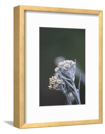 curry plant in the botanical garden,-Nadja Jacke-Framed Photographic Print