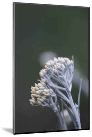 curry plant in the botanical garden,-Nadja Jacke-Mounted Photographic Print