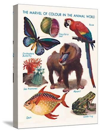 'The Marvel of Colour in the Animal World', 1935-Unknown-Stretched Canvas Print