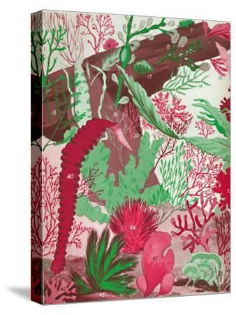 'A Collection of Over Fifty Species of Red, Green and Brown Seaweeds', 1935-Unknown-Stretched Canvas Print