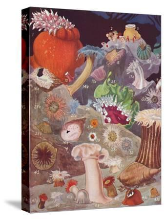 'Over Fifty Varieties of Sea Anemones', 1935-Unknown-Stretched Canvas Print