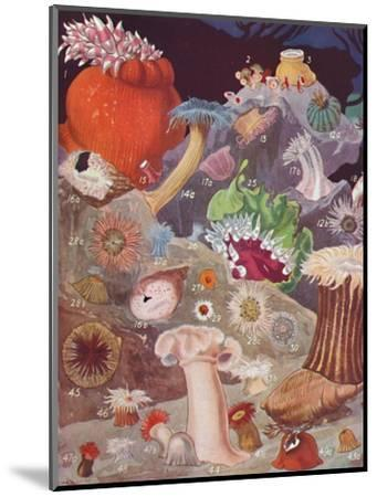 'Over Fifty Varieties of Sea Anemones', 1935-Unknown-Mounted Giclee Print