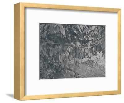 'Cacao Tree', 1924-J.S Fry & Sons-Framed Photographic Print