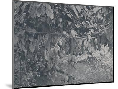 'Cacao Tree', 1924-J.S Fry & Sons-Mounted Photographic Print