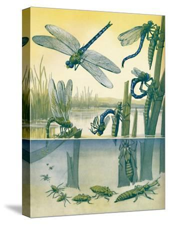 'The Beautiful Dragonfly's Life Story', 1935-Unknown-Stretched Canvas Print